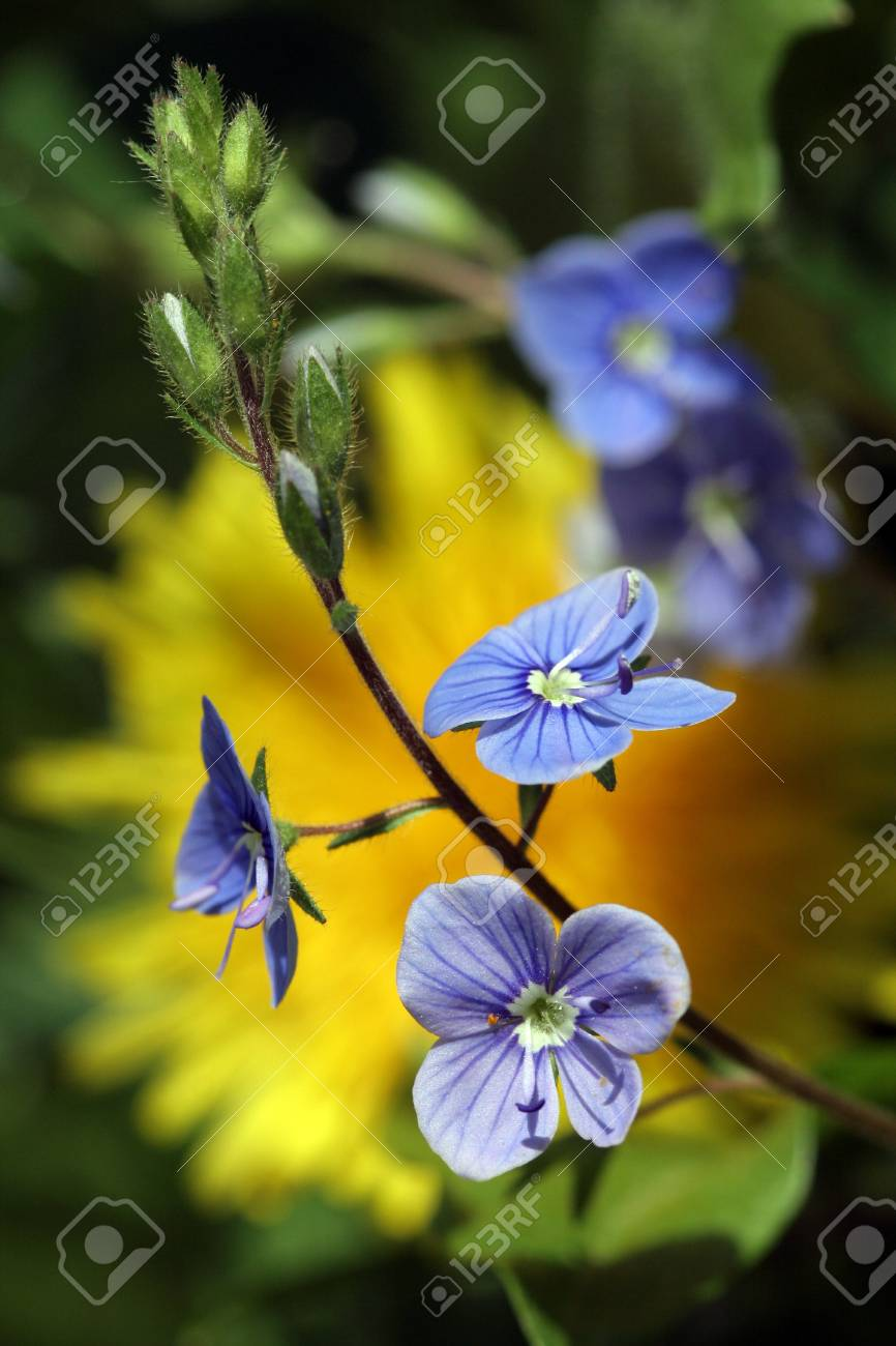 Beautiful Small Blue Flowers Bloom In Spring Stock Photo Picture