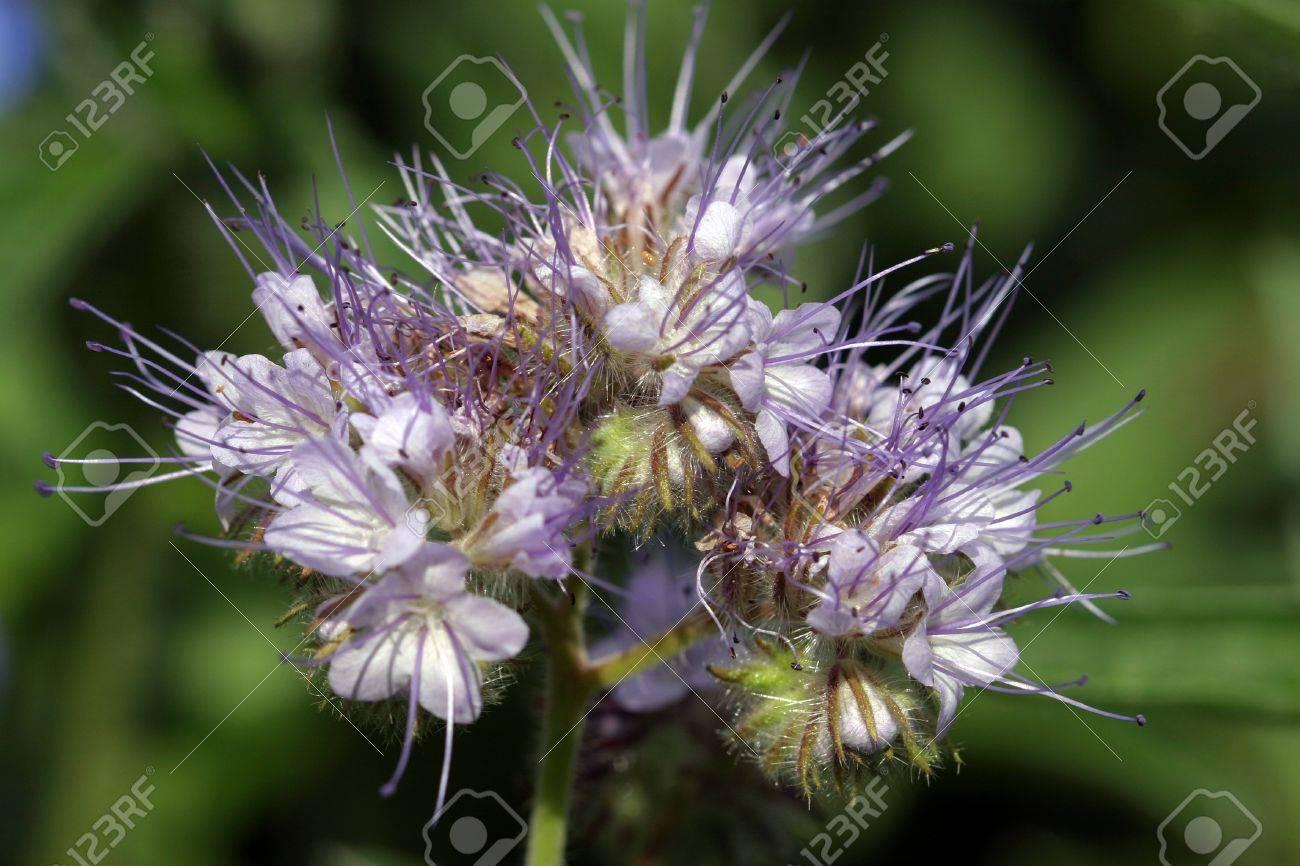 flowering fields of blue honey plants closeup - 19878904