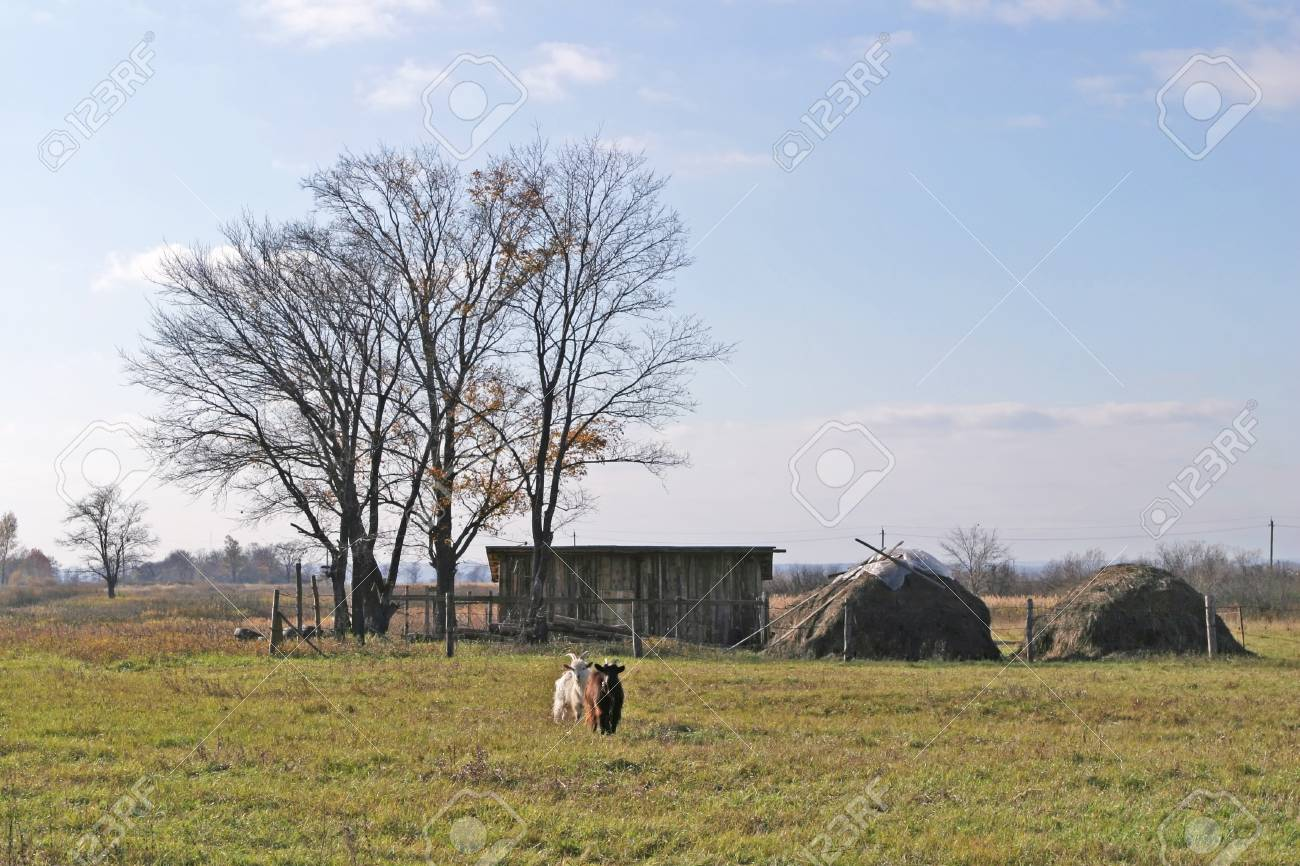 landscape two goats graze in the meadow in autumn Stock Photo - 19879305