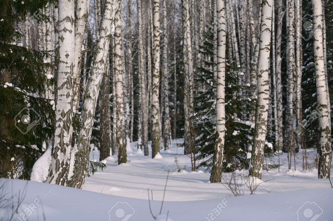 Birch trees in the winter stock photo image 2170700 - Birch Tree Stock Images Royalty Free Images Vectors Shutterstock