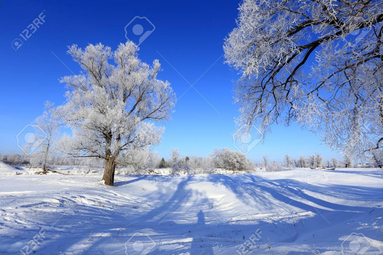 winter landscape frost oaks in sunny frosty morning - 37766510