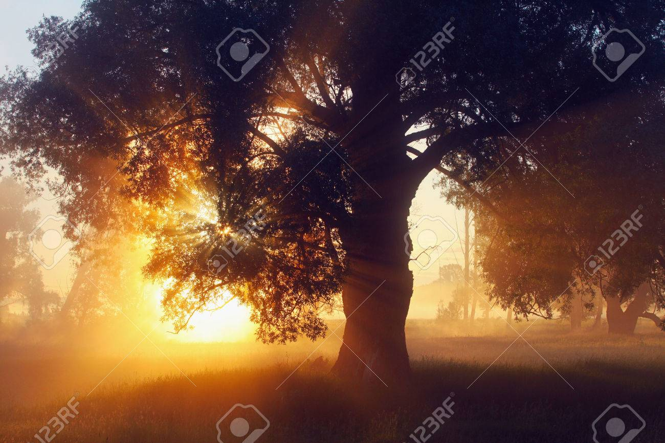 picturesque summer landscape misty dawn in an oak grove on the banks of the river - 43945970