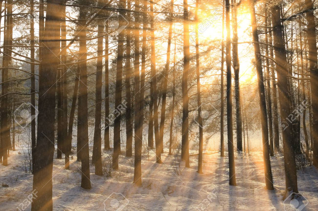 winter landscape of the sun's rays through the frosted branches of the trees in pine forest - 71337712
