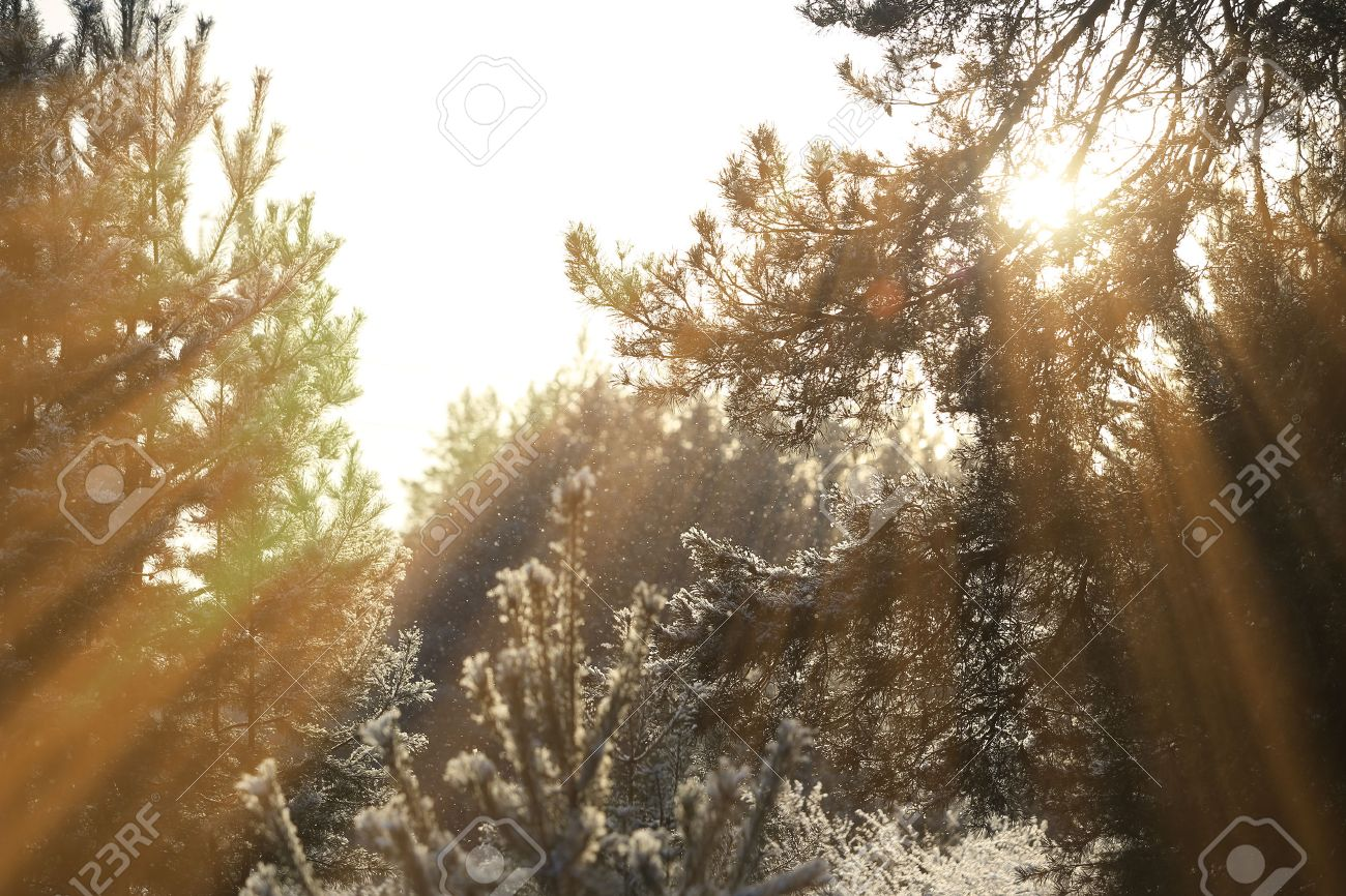 winter landscape of the sun's rays through the frosted branches of the trees in pine forest - 71337812
