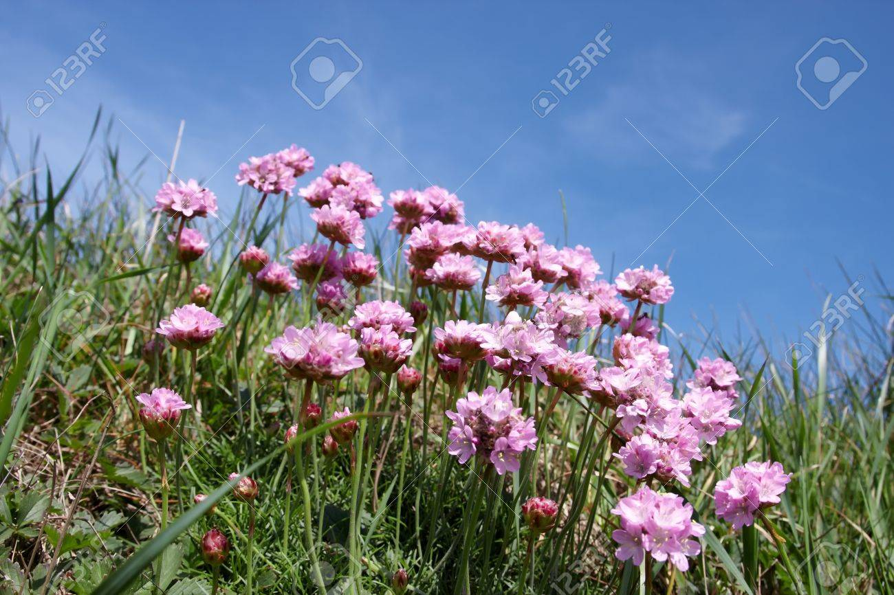 Littel pink coastal flowers with blue sky background stock photo littel pink coastal flowers with blue sky background stock photo 13639954 mightylinksfo