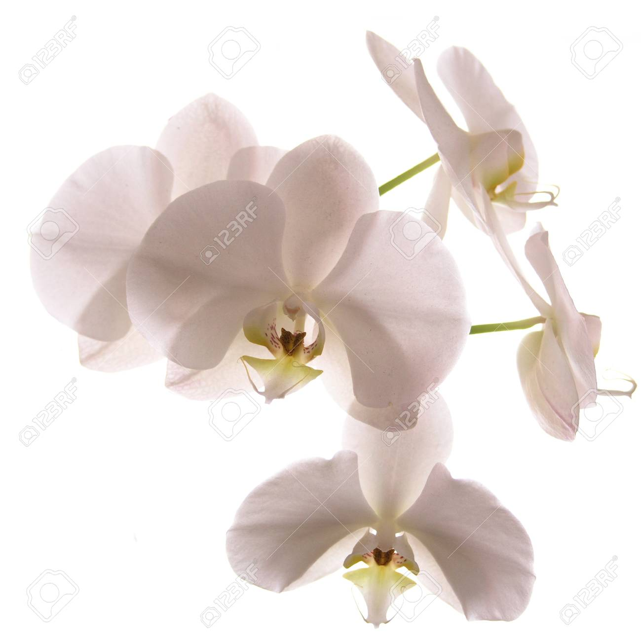 White orchid isolated on white Stock Photo - 18320634