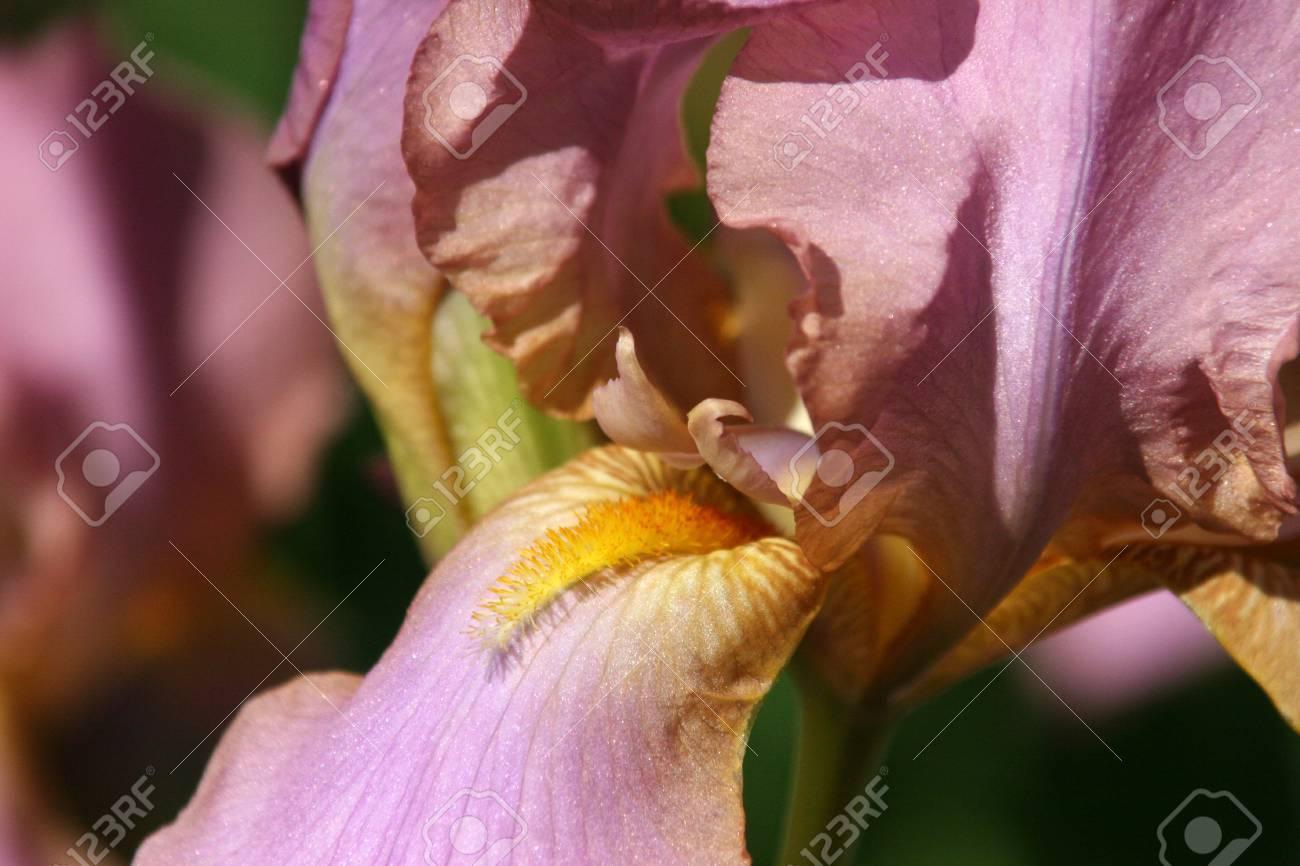 The flower is light purple with streaks of iris with orange beard stock photo the flower is light purple with streaks of iris with orange beard izmirmasajfo