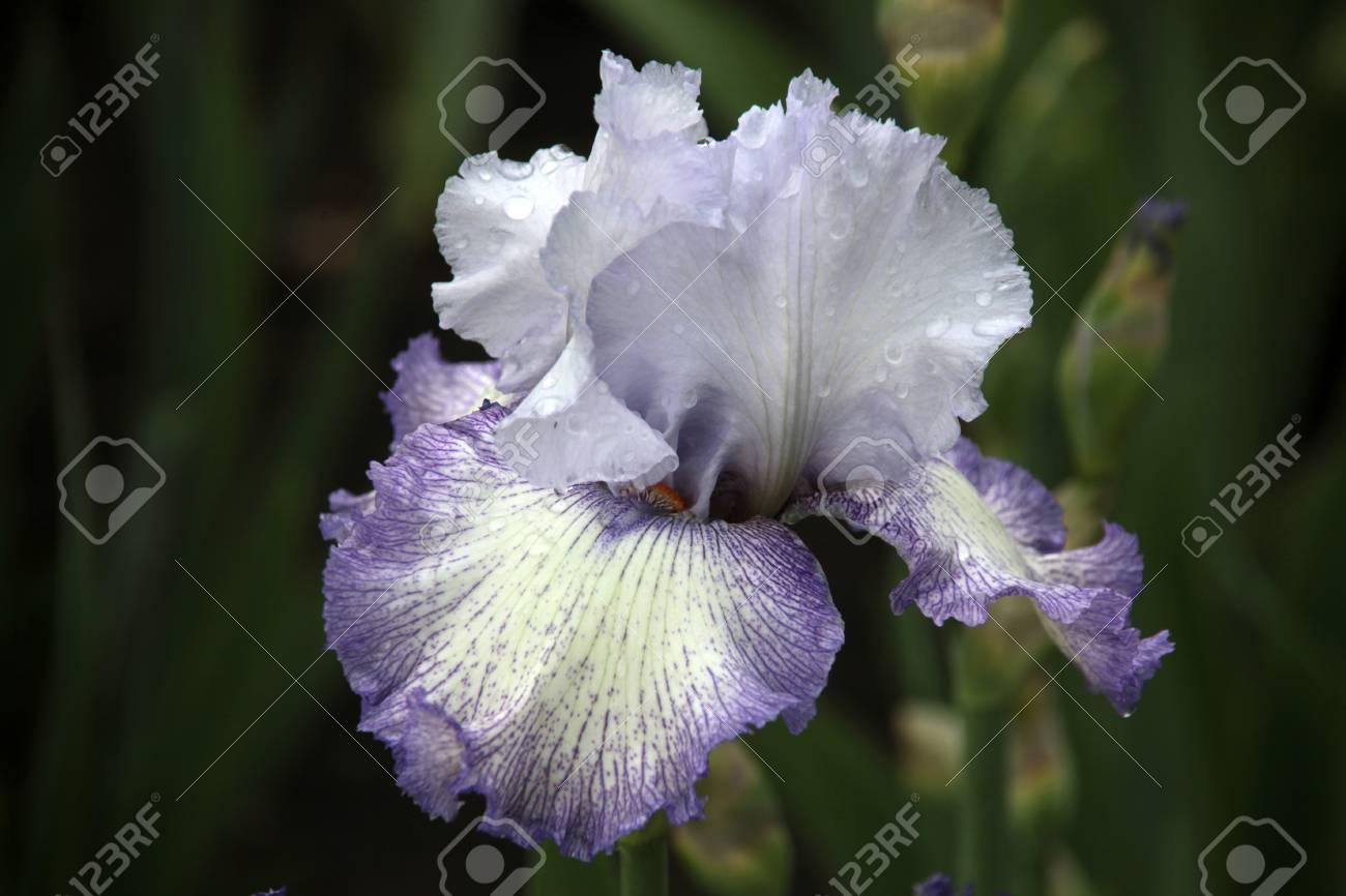 Iris flower with rain drops stock photo picture and royalty free iris flower with rain drops stock photo 51854366 izmirmasajfo Images