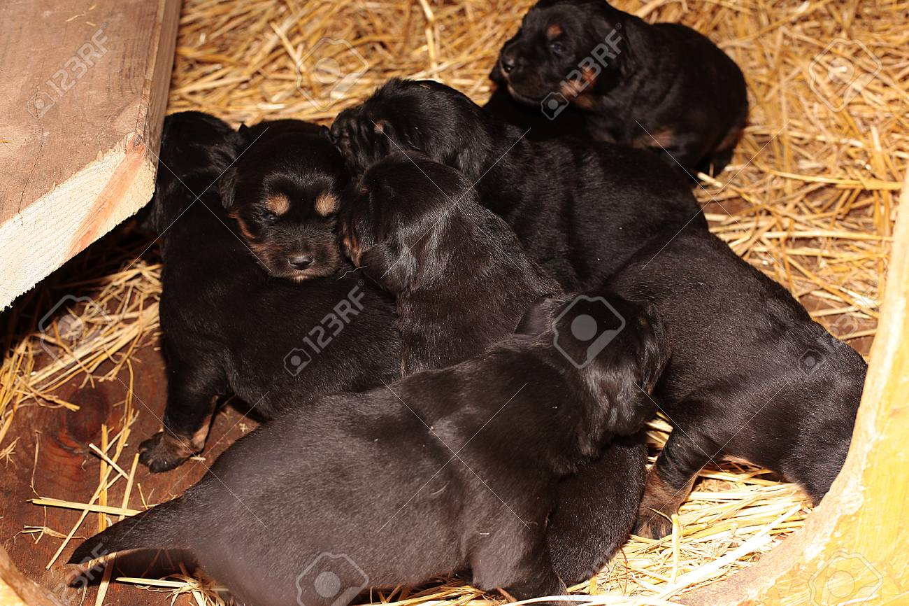 litter of Tibetan mastiff puppies