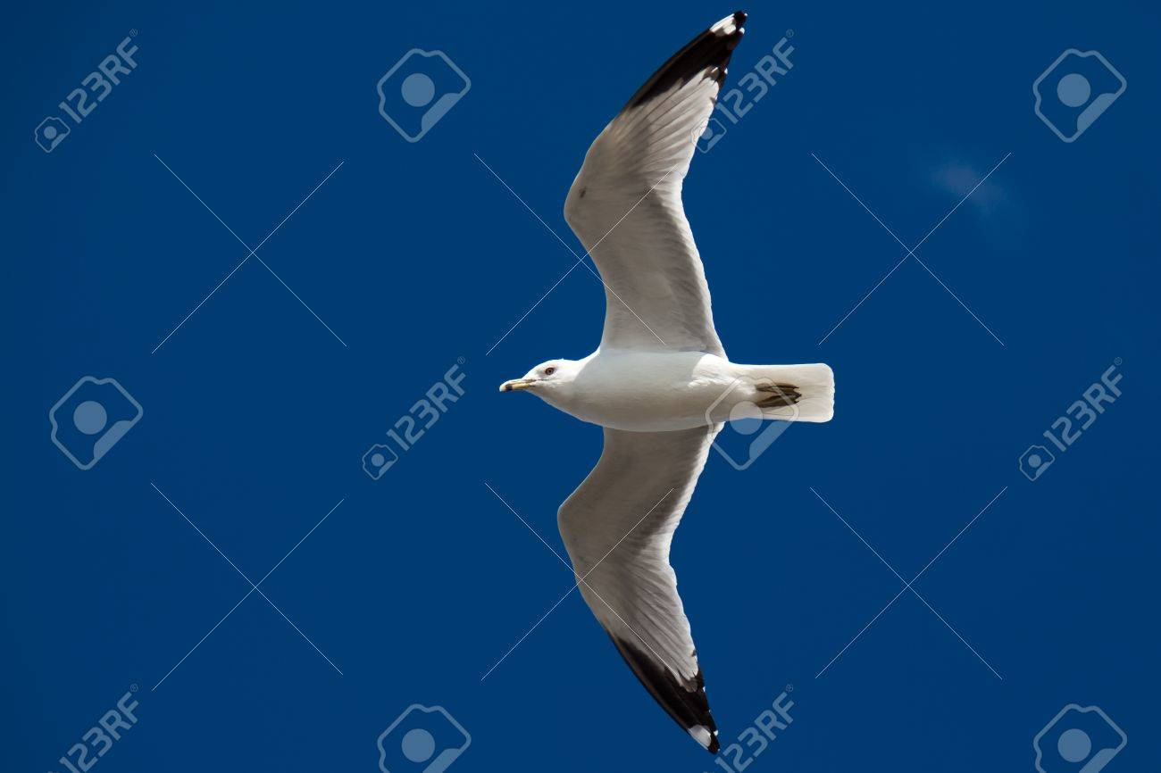 Beautiful seagull flying on the blue sky Stock Photo - 9647042