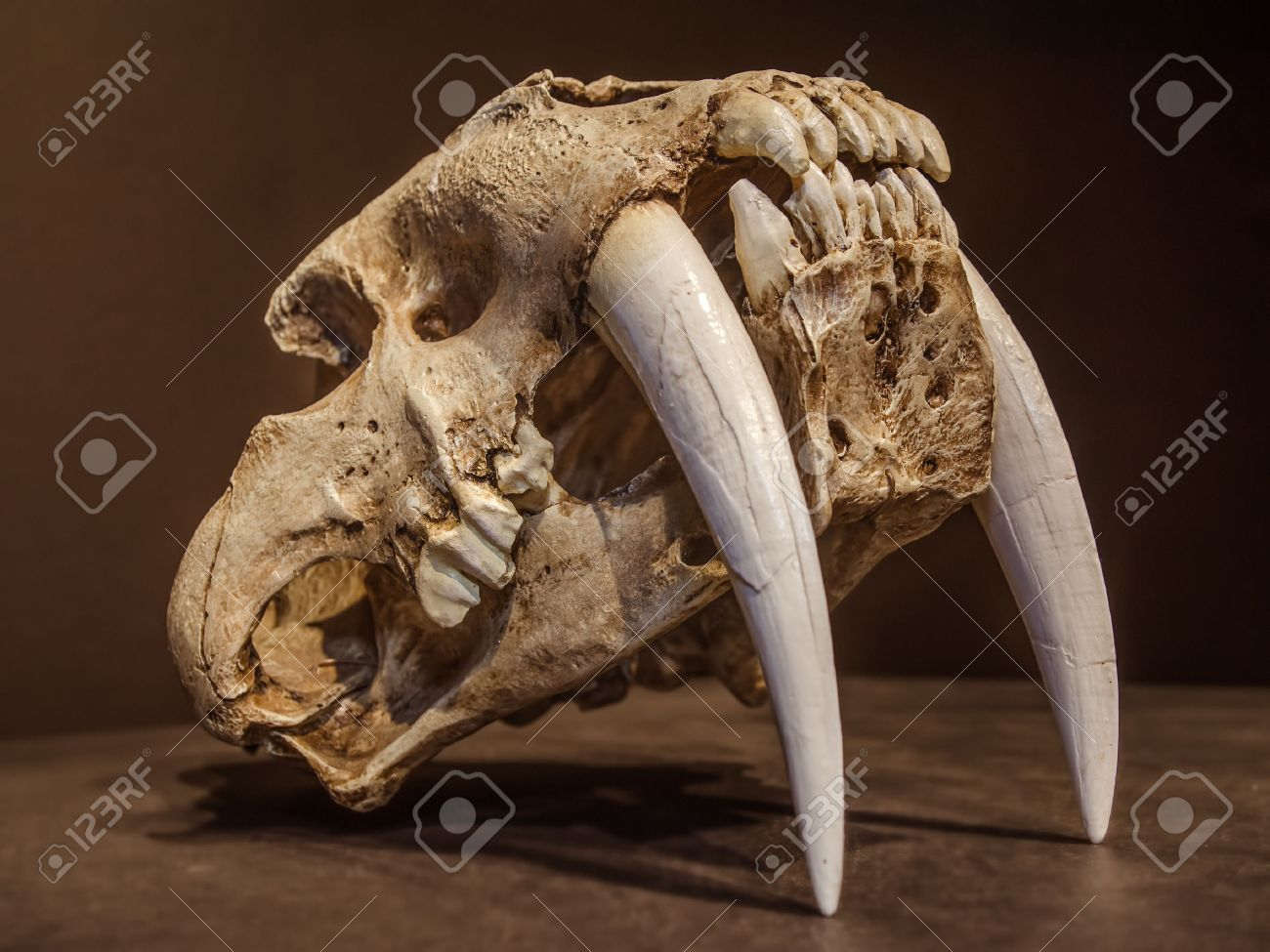 Saber tooth tiger skull, with long white front teeth. Banque d'images - 36572148