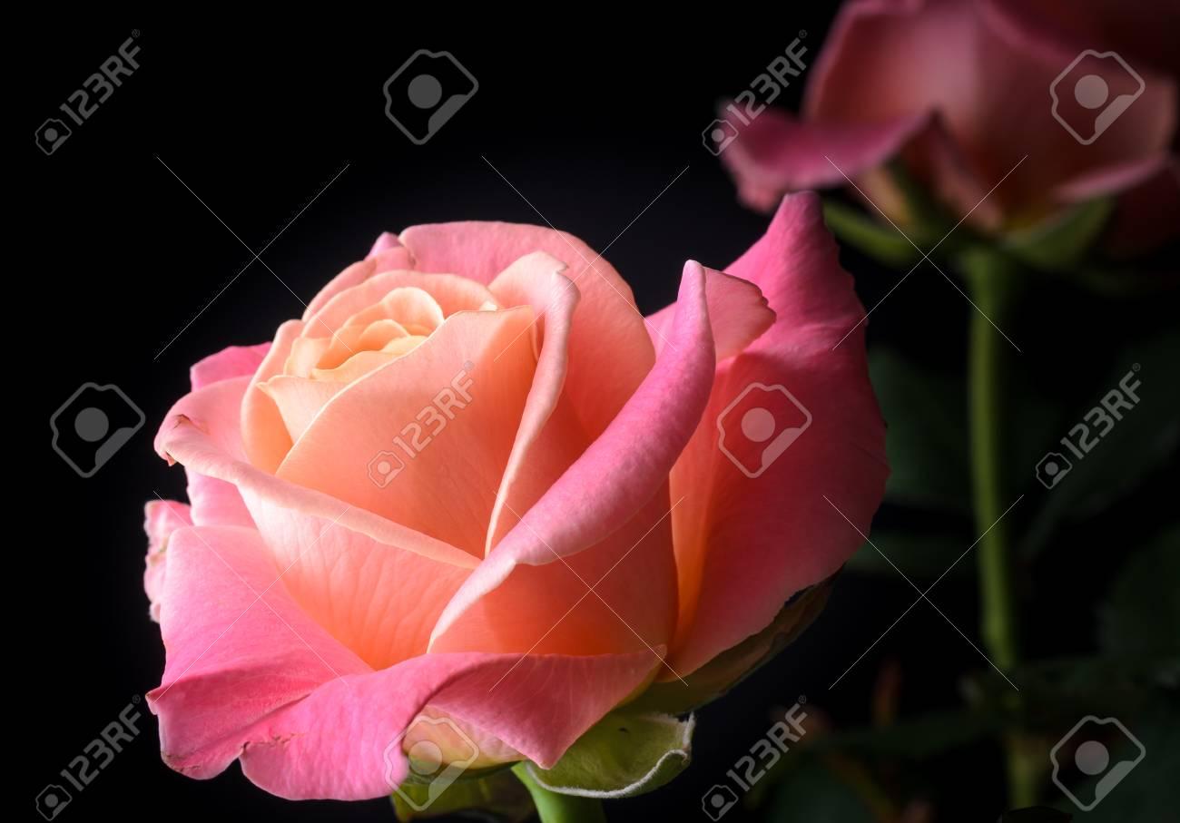 Roses jaunes, orange, roses crémeux isolés sur fond noir, multicolores, couleurs douces rêveuses. Banque d'images - 86579075