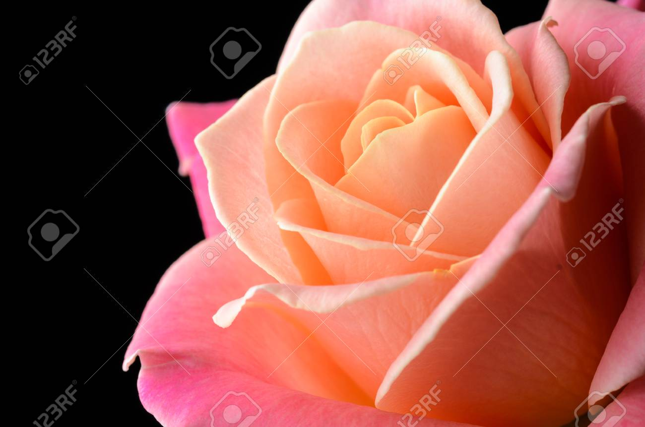 Yellow, orange, pink creamy rose isolated on black background, multicolor, dreamy soft colors. Banque d'images - 86579076