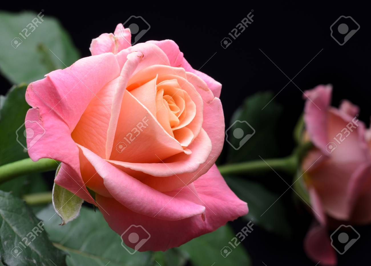 Yellow, orange, pink creamy roses isolated on black background, multicolor, dreamy soft colors. Banque d'images - 86674015