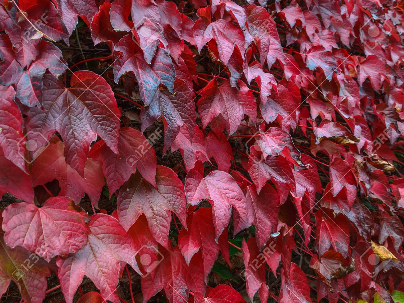 Feuilles d'automne rouges et vertes Banque d'images - 86955308