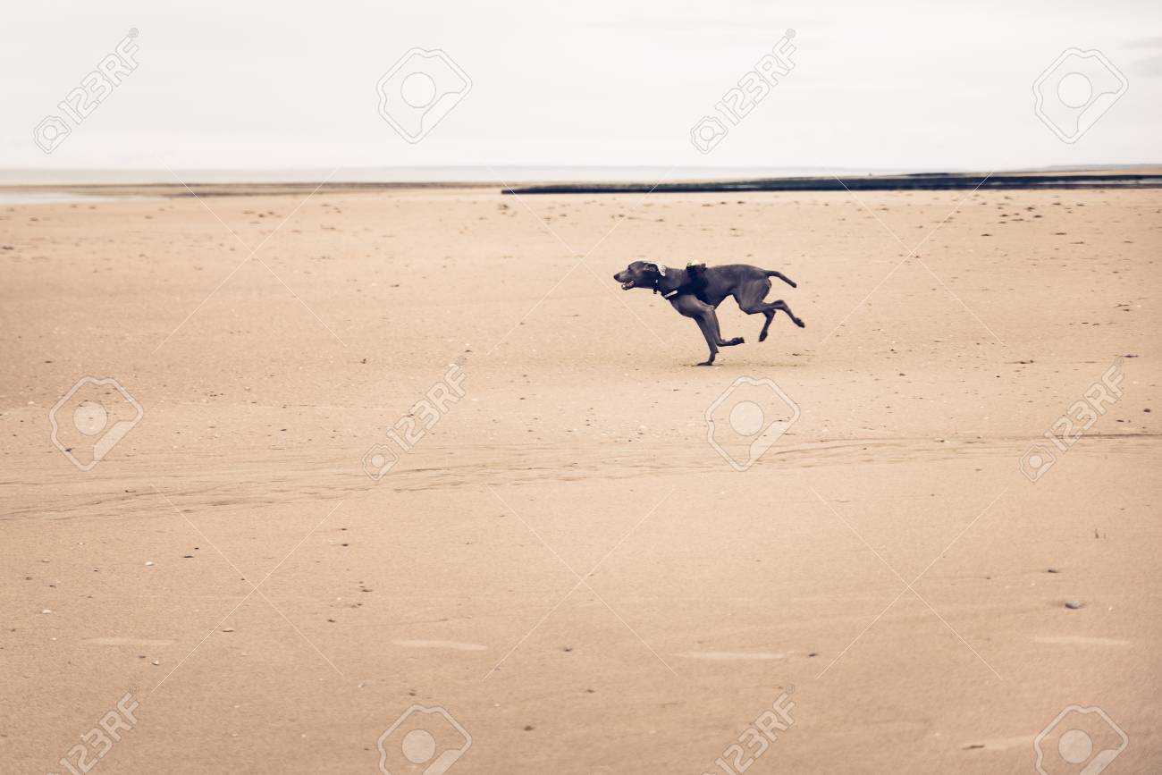 Beautiful dog, chesapeake bay retriever, running on the beach Banque d'images - 95846154