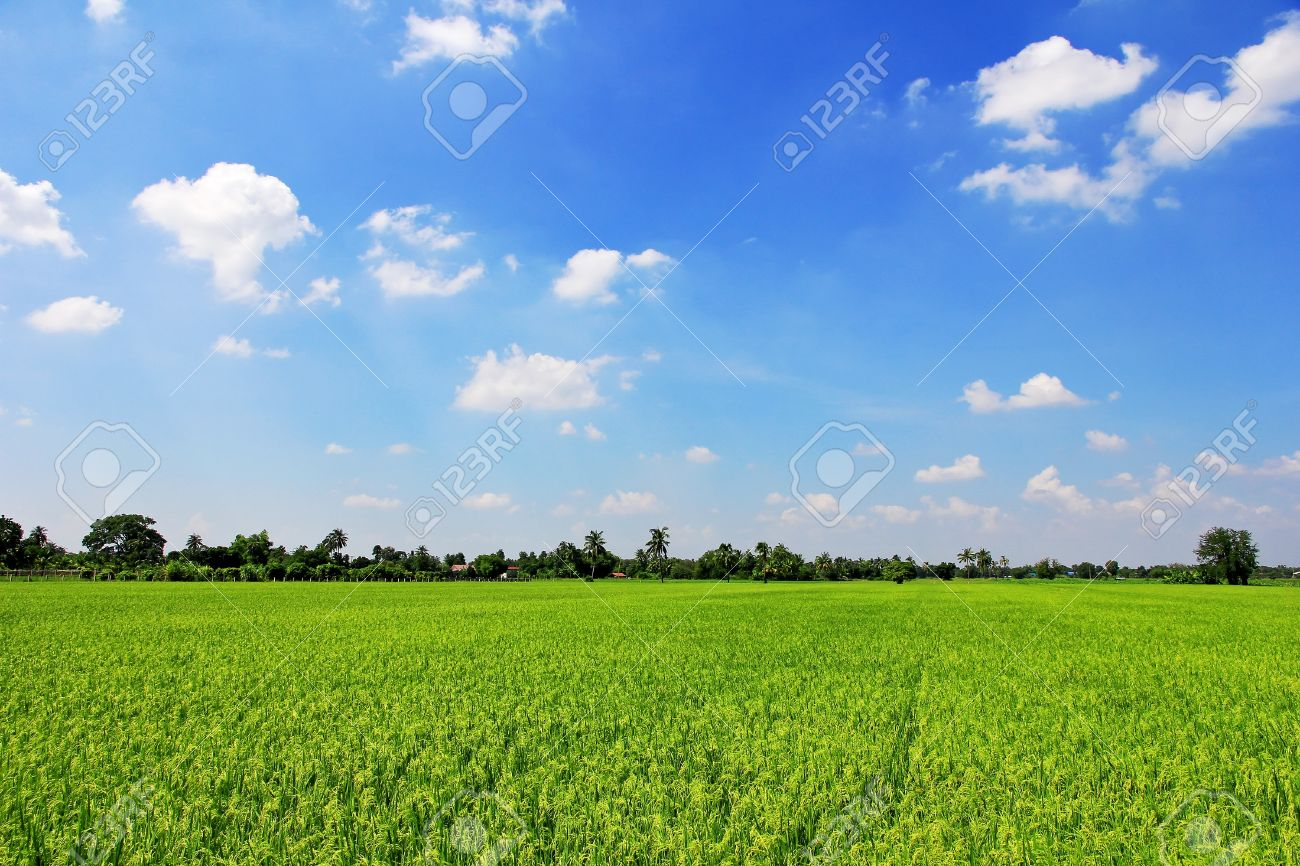 Rice field green grass blue sky cloud cloudy landscape background Stock  Photo - 16419748 - Rice Field Green Grass Blue Sky Cloud Cloudy Landscape Background