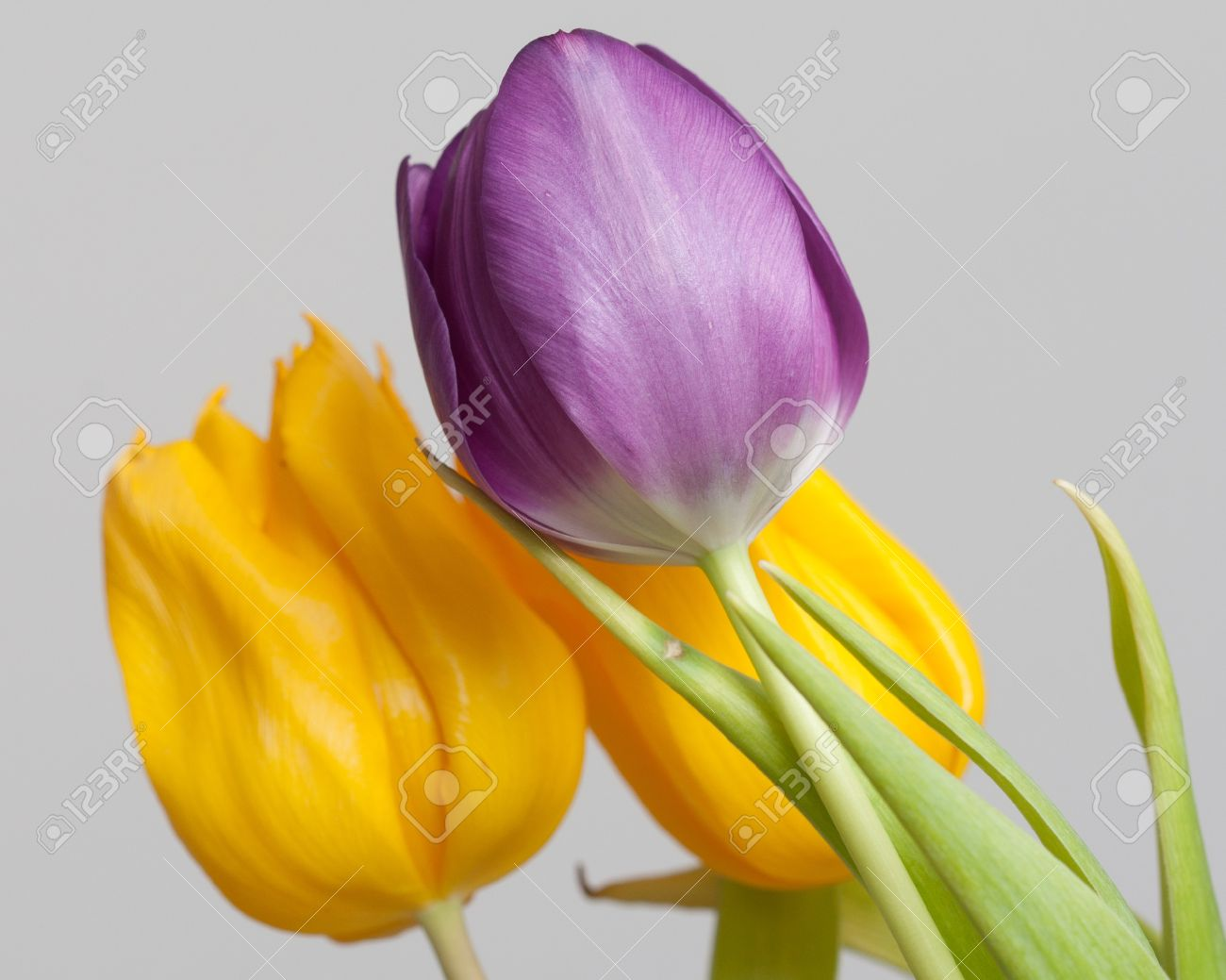 Yellow And Purple Tulips With Green Leaves On A Gray Background
