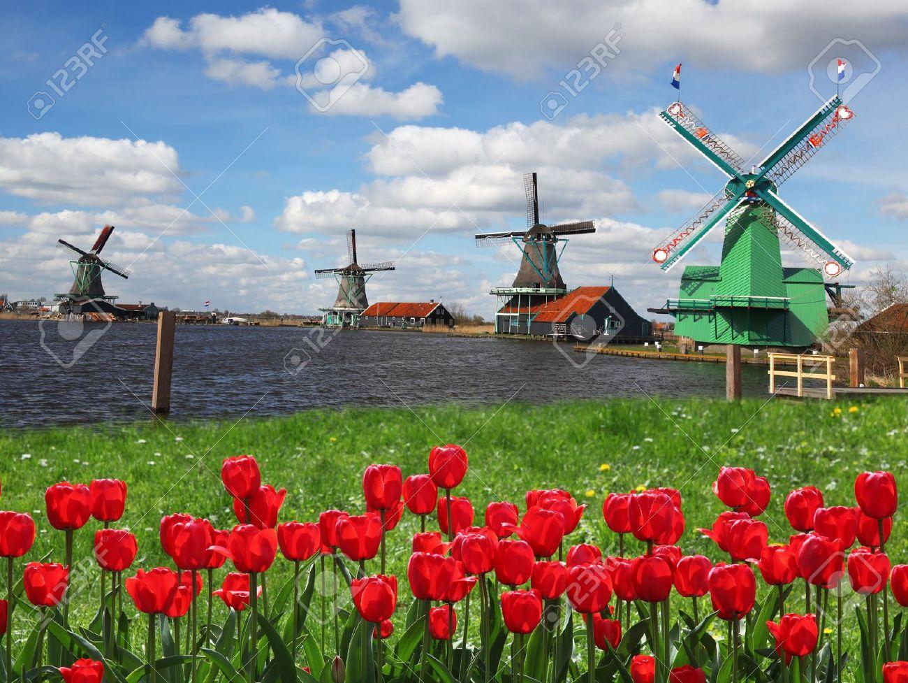 molinos de viento holandeses con tulipanes rojos cerca de amsterdam holanda foto de archivo