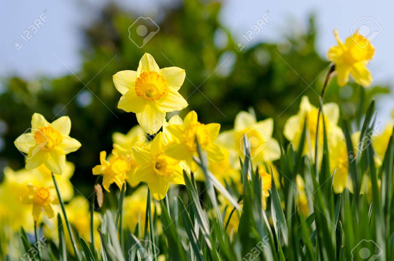 Narcisos Amarillos En El Jardin Fotos Retratos Imagenes Y - Narcisos-amarillos