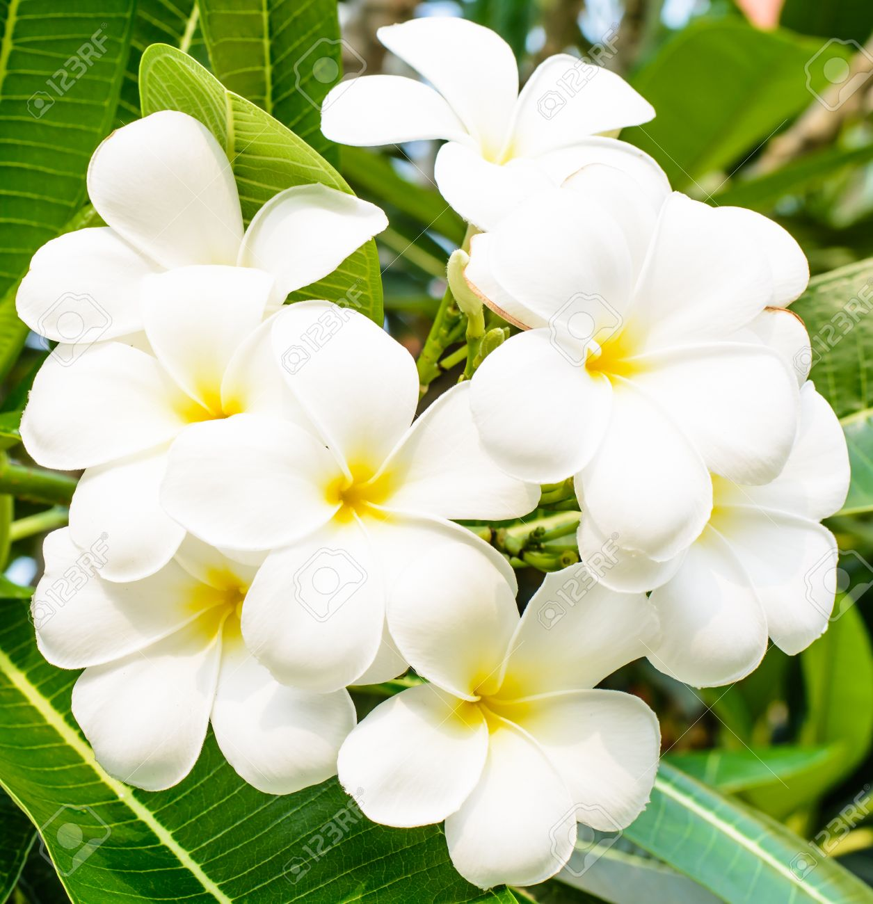 Good Smell Of White Flower It Name Is Lan Tom Or Leelawadee Stock