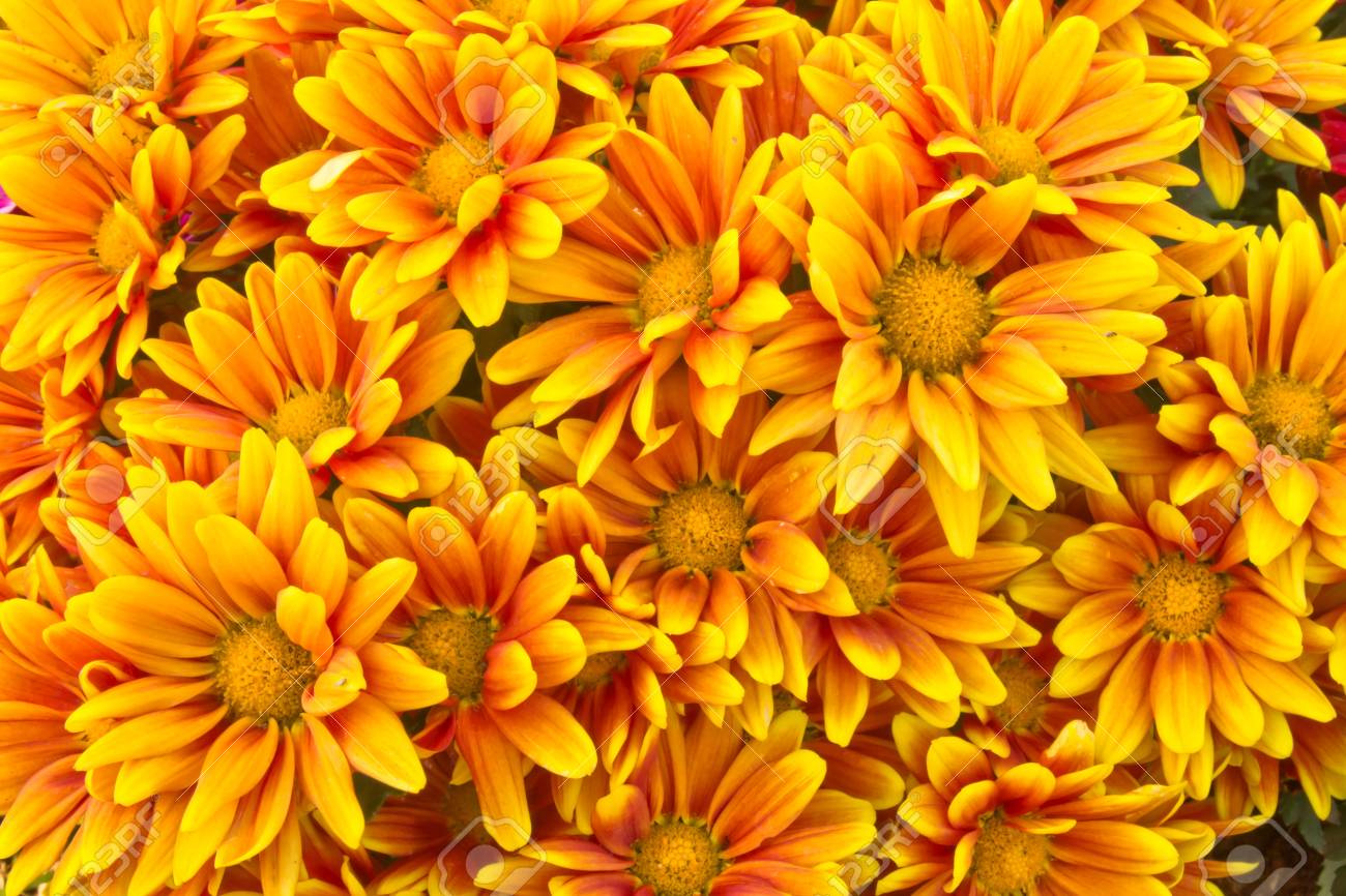 Yellow Chrysanthemum Flowers Stock Photo Picture And Royalty Free