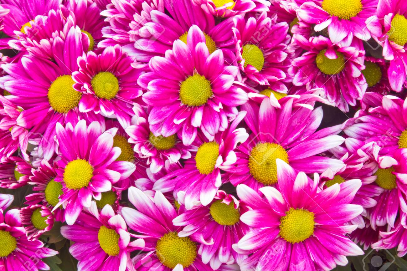 Pink Chrysanthemum flowers Stock Photo - 17562545