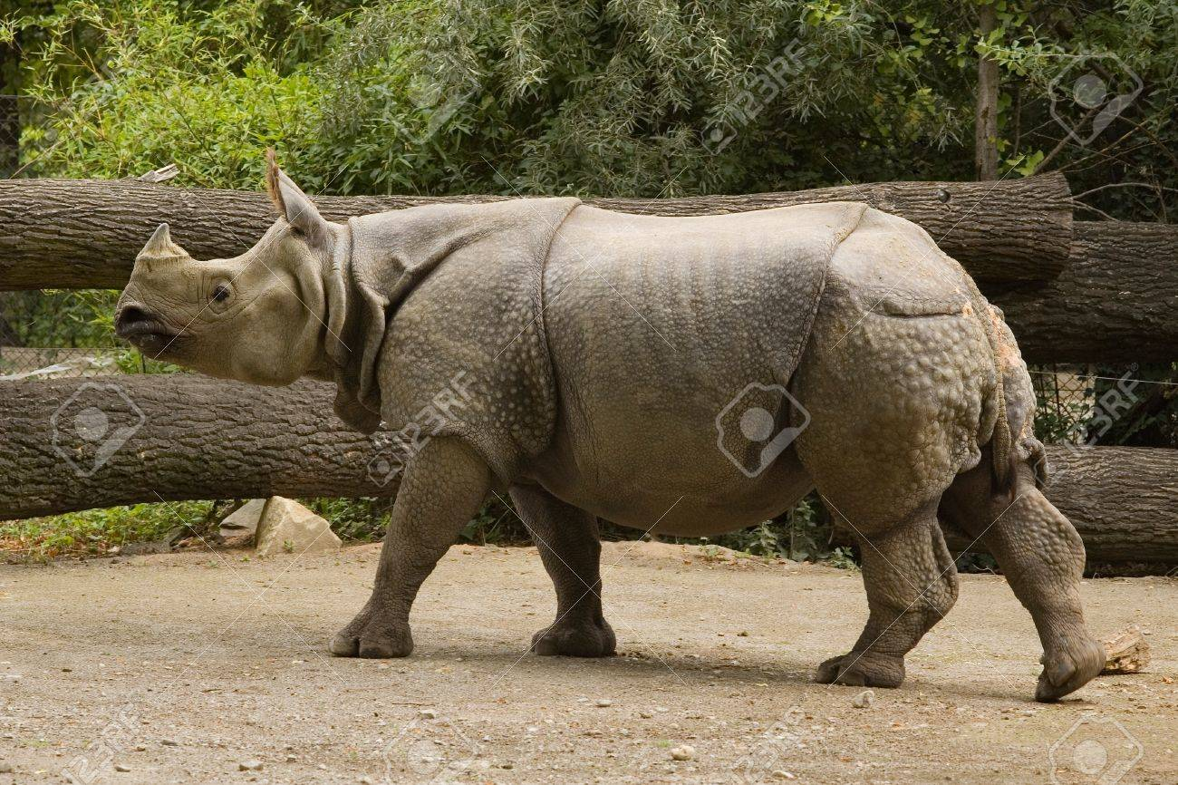 The Members Of The Genus Rhinoceros Are The One Horned Rhinoceroses Stock Photo Picture And Royalty Free Image Image 11736961