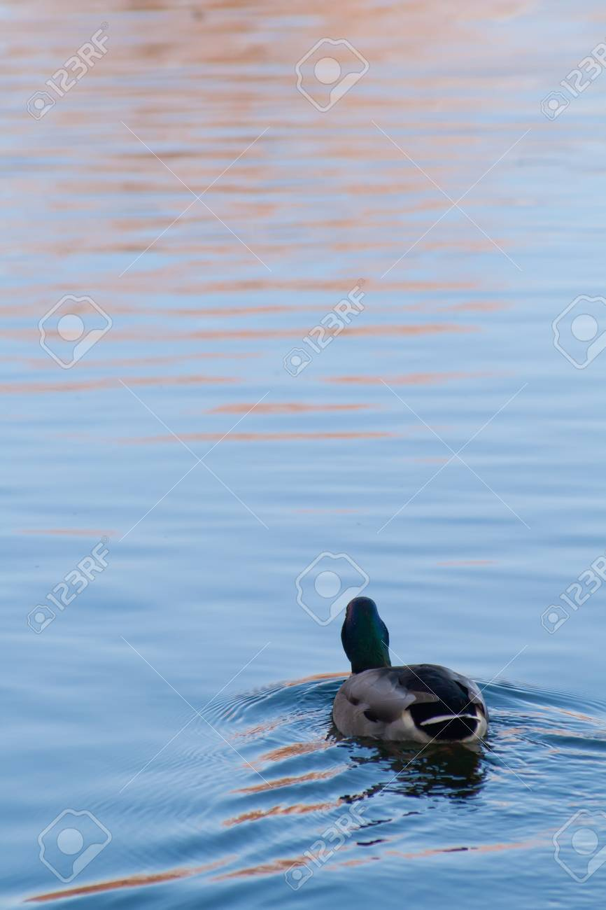 Duck floating away into the distance, autumn Stock Photo - 18437962