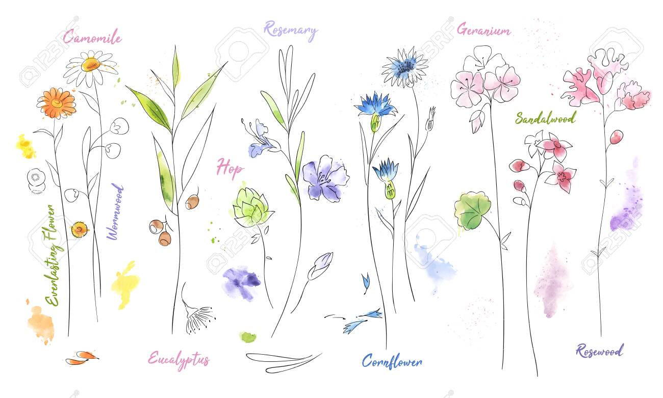 Wildflowers hand drawn watercolor illustration set. Camomile, hop aquarelle paint drawing. Twigs and flowers with names minimalistic illustrations pack. Plants vector sketch. Botanical isolated design elements - 124158712