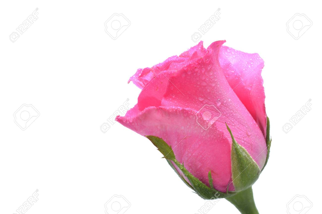 Close up view of pink rose on white background. Stock Photo - 12062225
