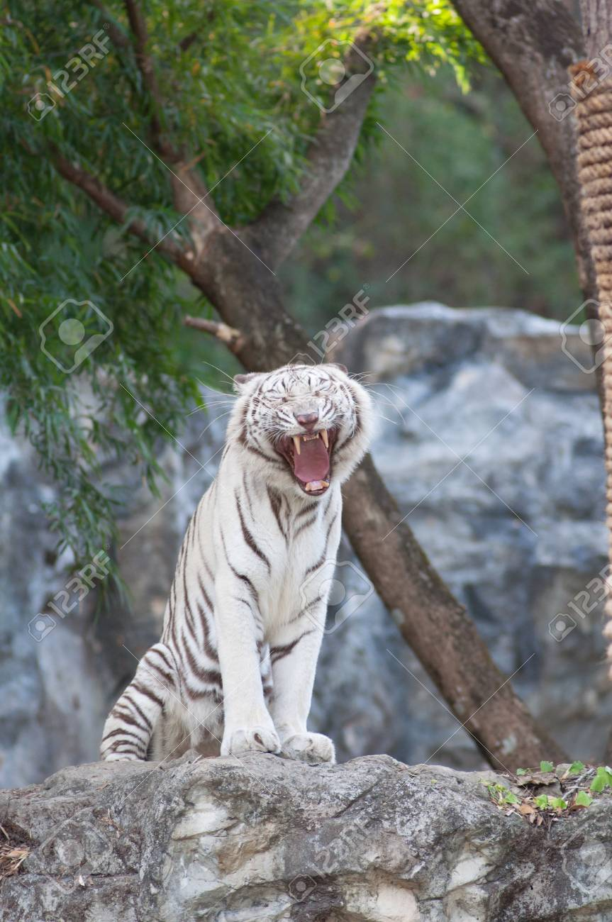 WHITE TIGER on a rock in zoo. Stock Photo - 17374550