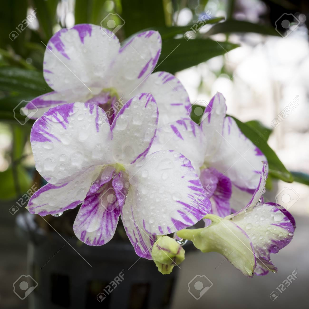Dendrobium Orchid Purple Orchid Flowerstropical Flower Bloompink