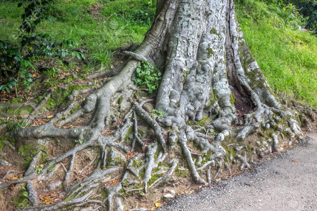 Old Magnolia Tree Roots Adjara Georgia Stock Photo Picture And