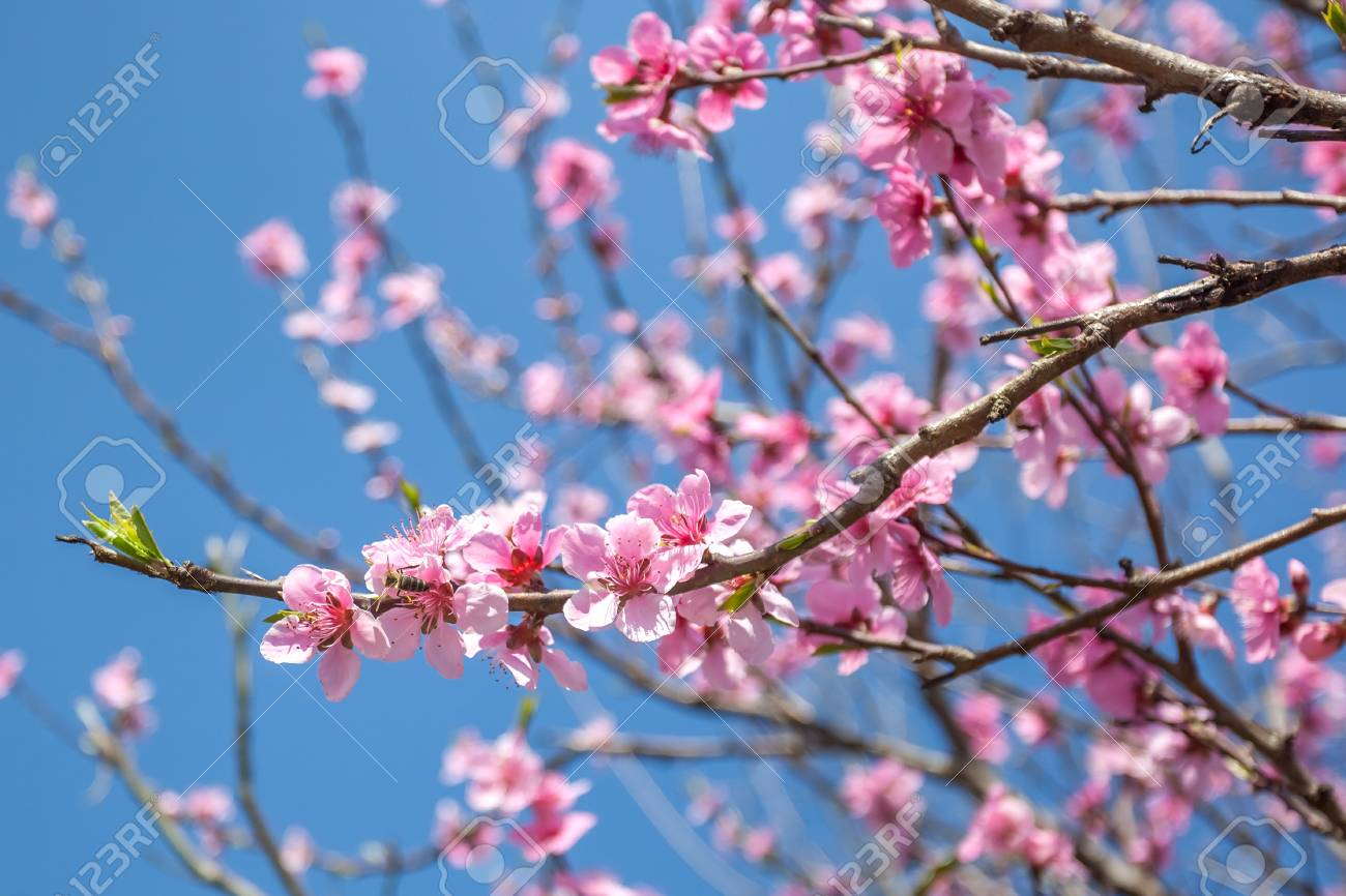 Sweet Peach Blossoms In Early Spring Bees Food Stock Photo Picture