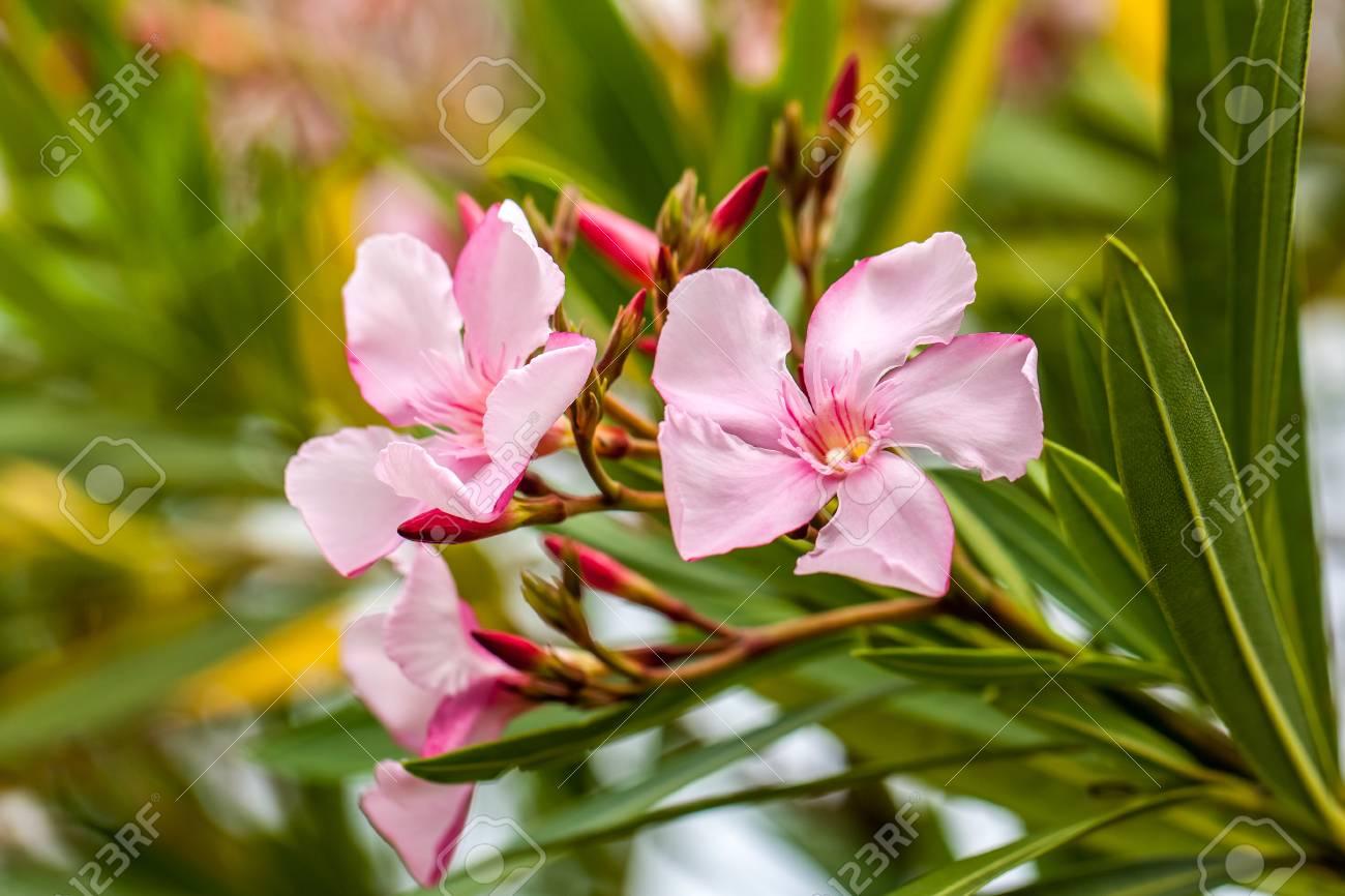 Beautiful pink nerium oleander flowers on bright summer day stock beautiful pink nerium oleander flowers on bright summer day stock photo 80432566 mightylinksfo