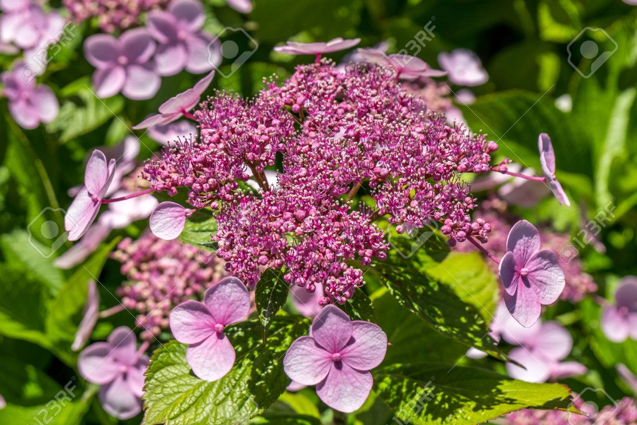 The pink sparkler spirea flowers is a smaller shrub with a rounded stock photo the pink sparkler spirea flowers is a smaller shrub with a rounded shape spiraea x betulifolia pink sparkler birch leaf spirea mightylinksfo