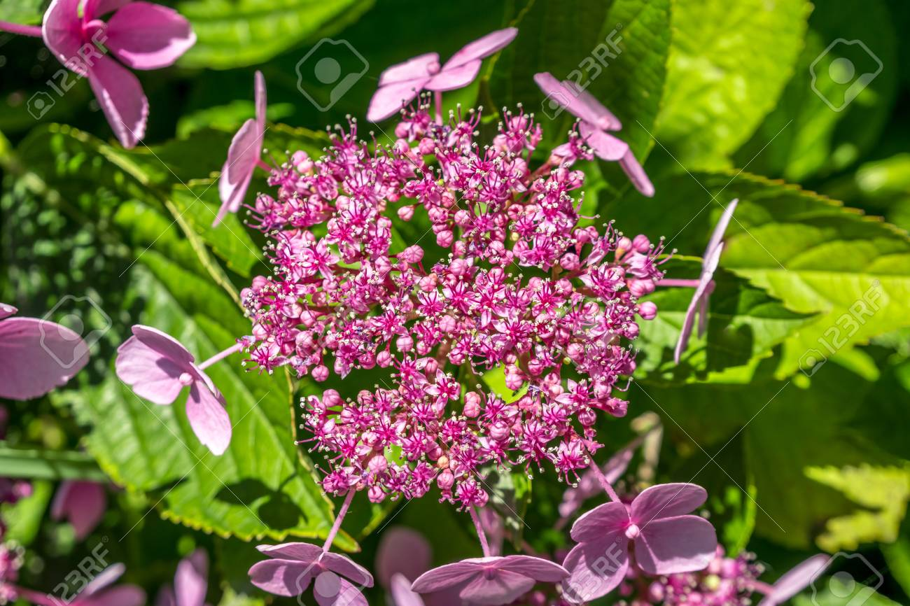The Pink Sparkler Spirea Flowers Is A Smaller Shrub With A Rounded