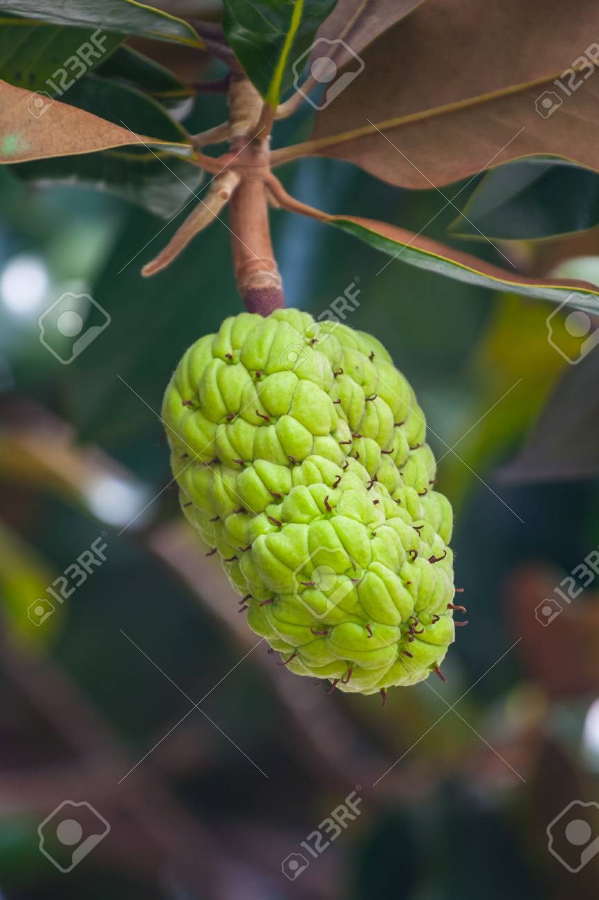 The Magnolia Tree Exhibits Seed Pods Flora Stock Photo Picture