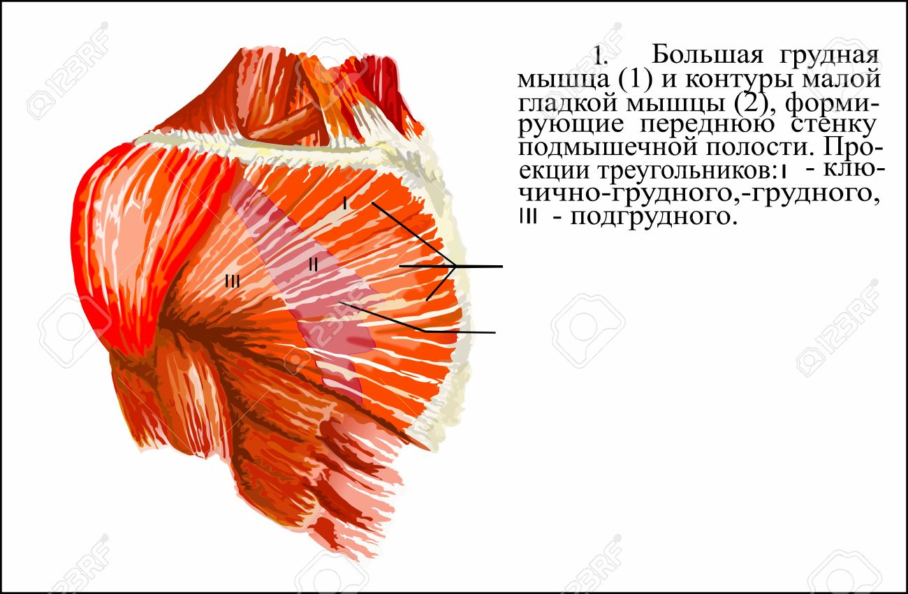 Human Anatomy , Pectoralis Major Muscle Stock Photo, Picture And ...