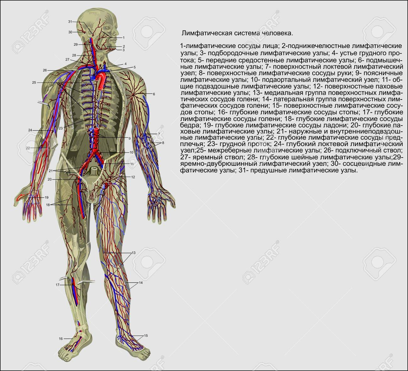 Human Anatomy The Lymphatic System Of The Person Stock Photo