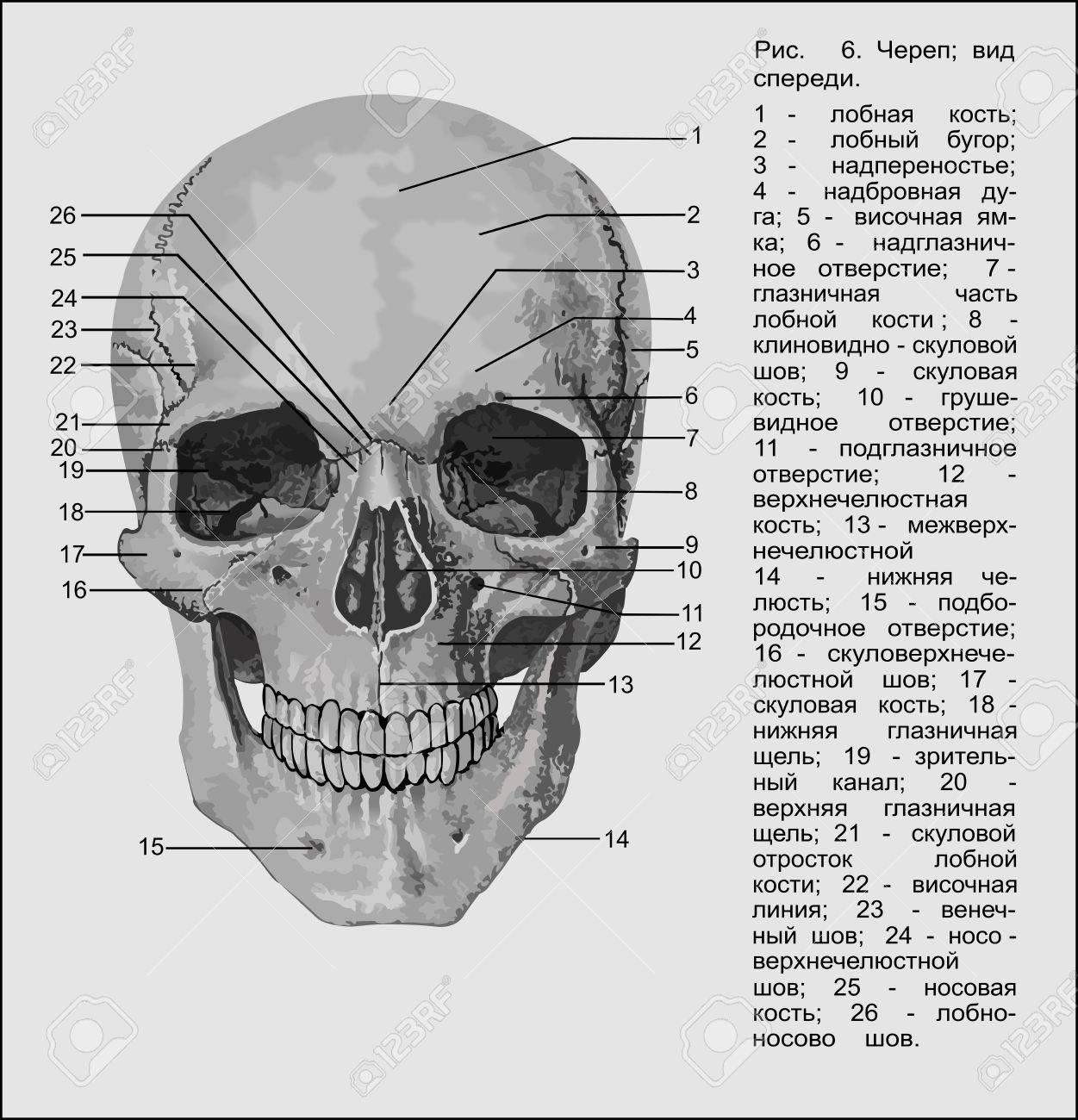Beste Anatomie Schädel Galerie - Anatomie Ideen - finotti.info