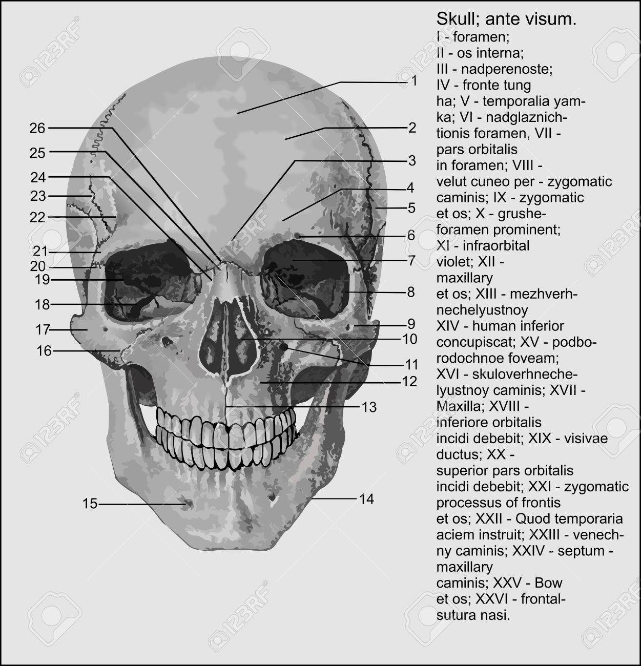 La Anatomía Humana, Cráneo Humano Ilustraciones Vectoriales, Clip ...