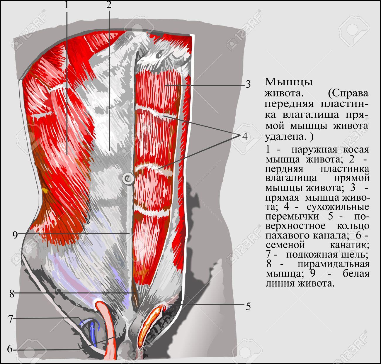 Human Anatomy , Abdominal Muscles Royalty Free Cliparts, Vectors ...