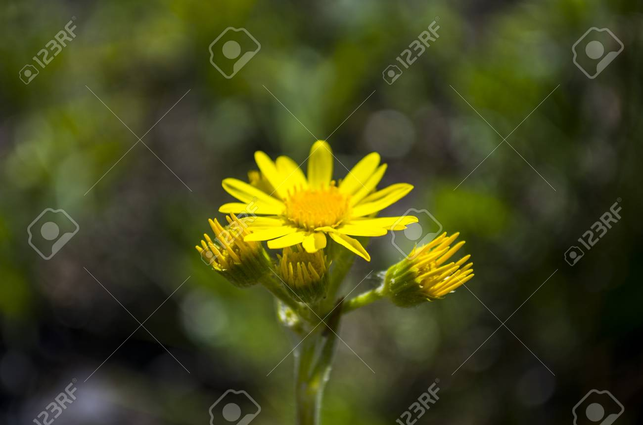 Yellow Daisy Wild Flower In The Forest Wild Medicinal Plant Stock
