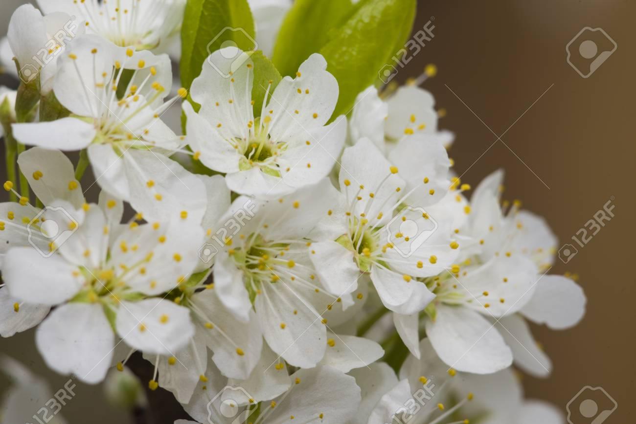 Manzano En Flor En El Arbol Floreciendo Hermosas Flores Blancas