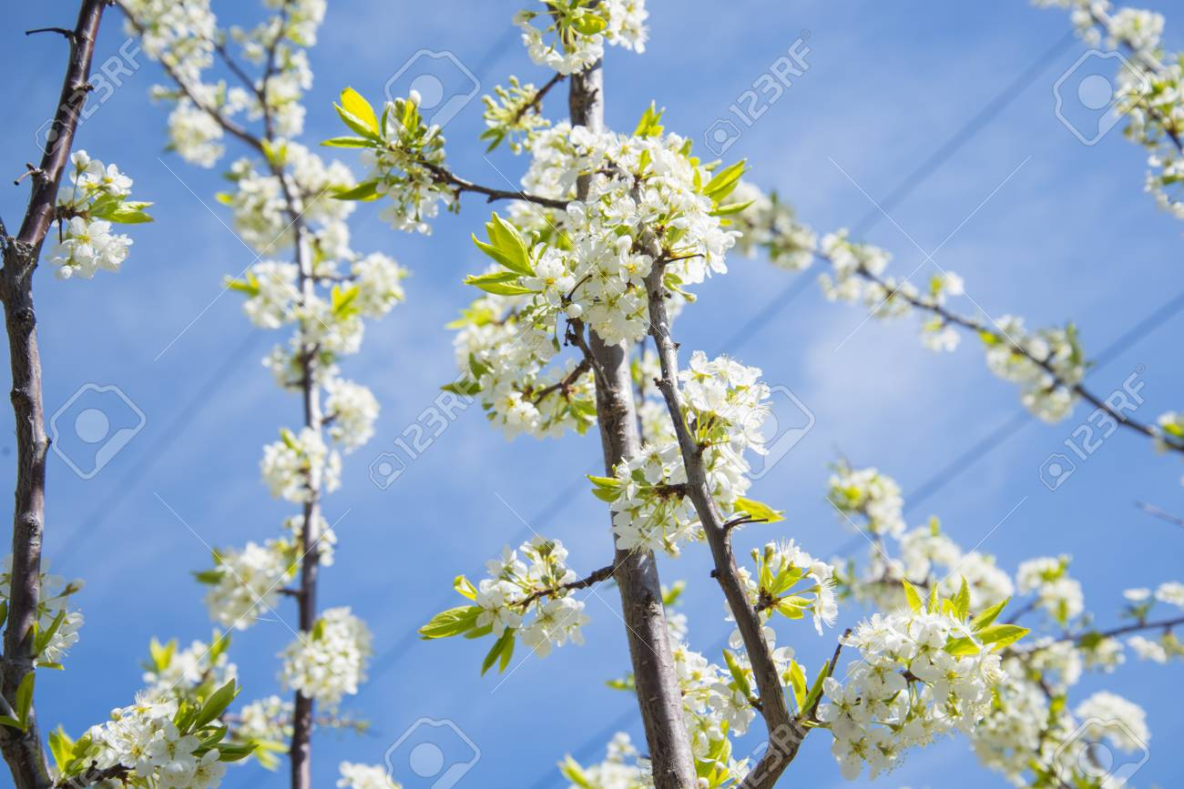 Flowering Crabapple Home The Apple Tree Blooms Beautiful White