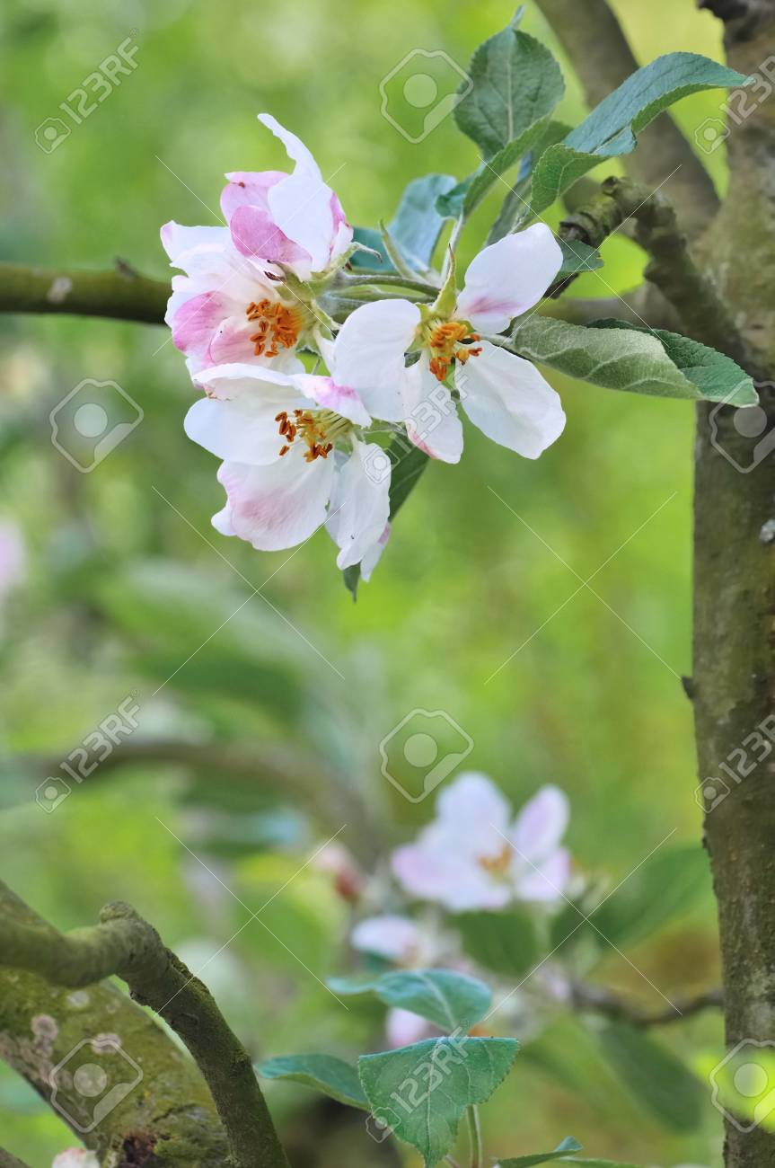 Pretty Flowers Of Apple Tree On A Branch Stock Photo Picture And