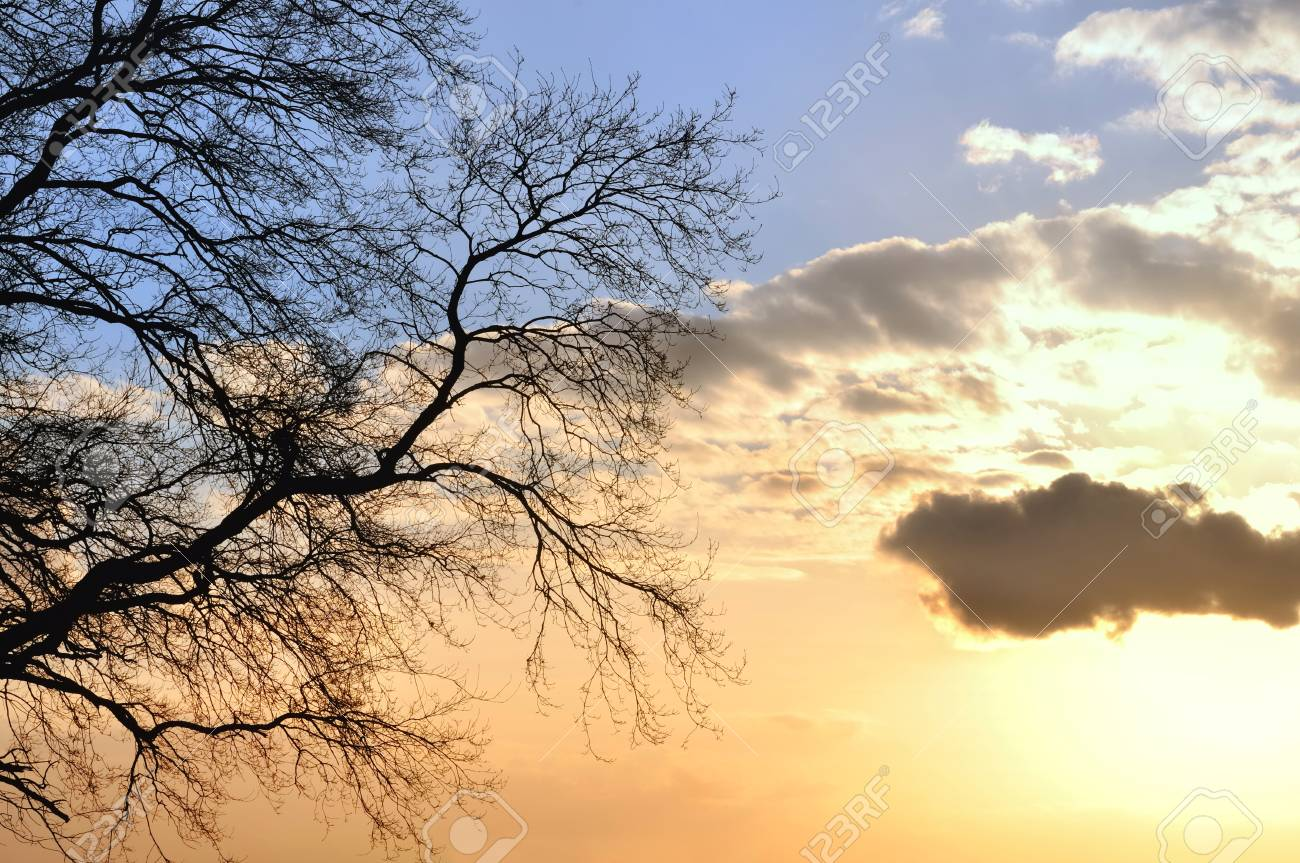 branches of an oak tree on sky background with colors of dusk Stock Photo - 18140341