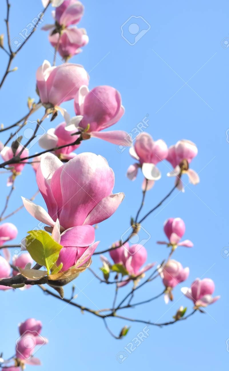 flowering of a beautiful magnolia flowers in blue sky background Stock Photo - 19284481